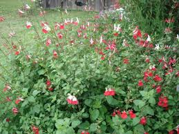 Salvia mycrophylla 'Hot Lips'-0