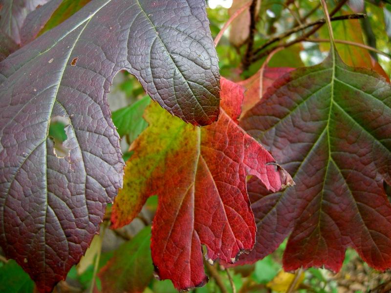 Oak Leaf Hydrangea 'Ellen Huff'-1549
