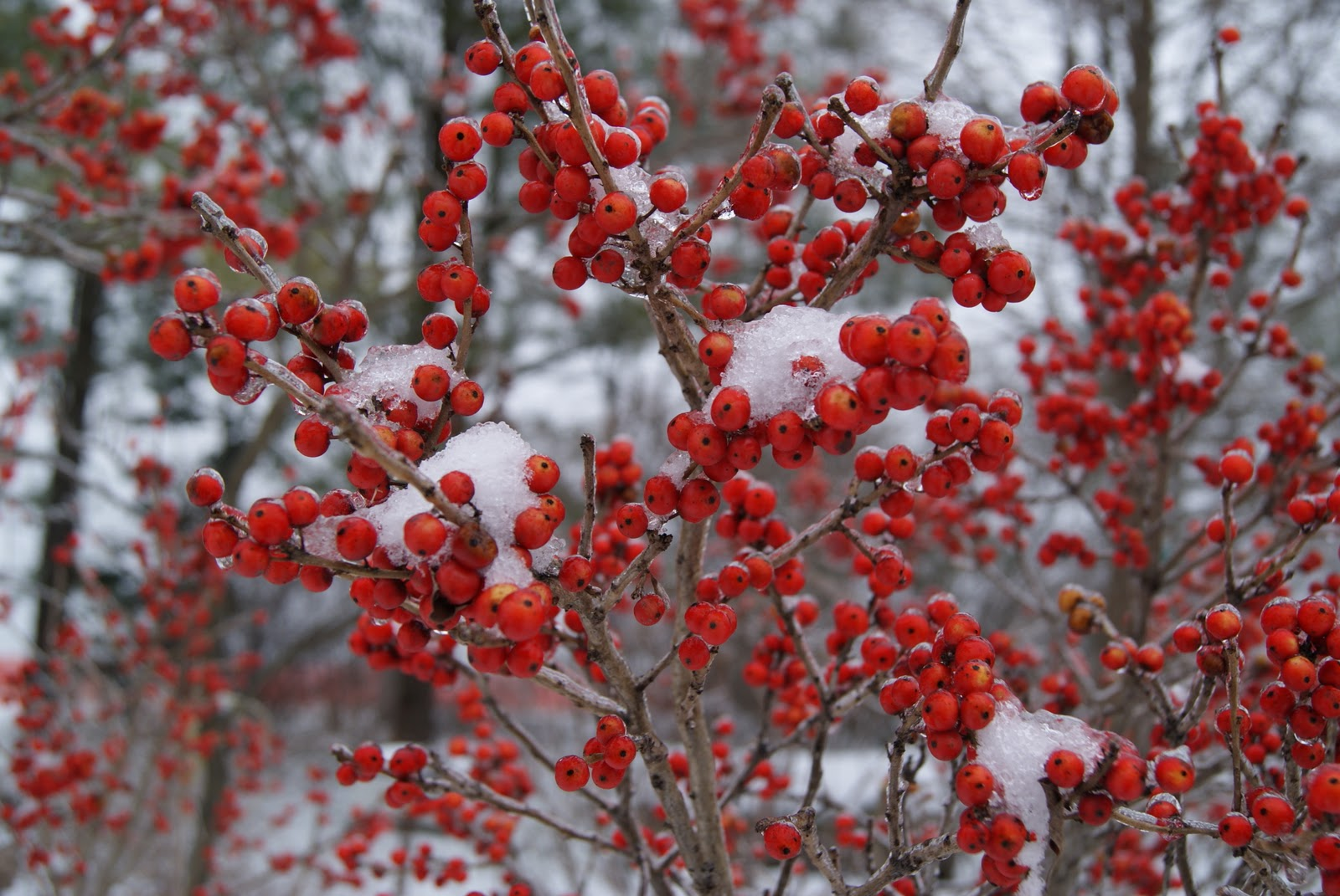 Winterberry 'Winter Red'-1565