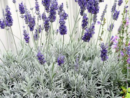 Lavender 'Provence'-517