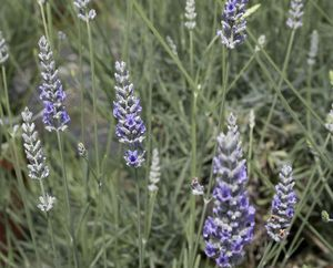 Lavender 'Provence'-518
