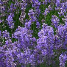Lavender 'Provence'-0