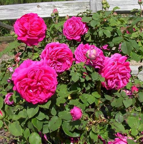 Rose 'Madame Isaac Pereire-0