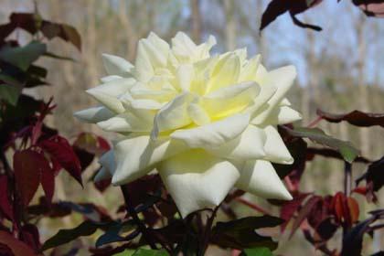 Rose 'Isabella Sprunt'-990