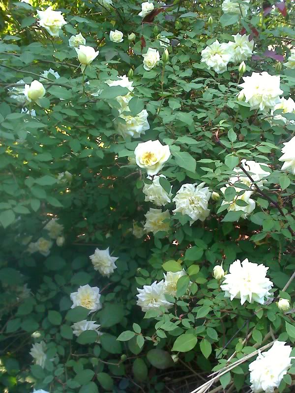 Rose 'Isabella Sprunt'-0