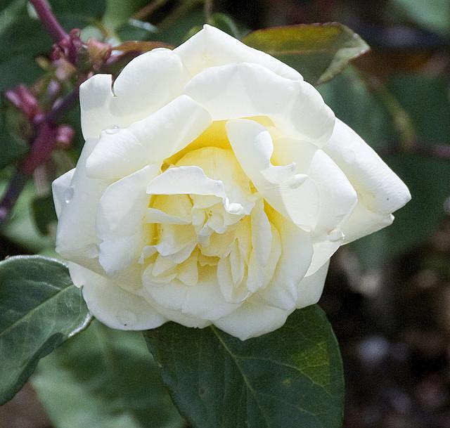 Rose 'Isabella Sprunt'-989