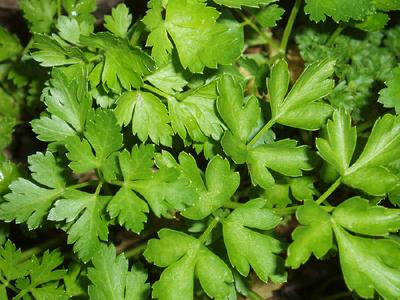 Parsley 'Italian Flat Leaf'-757