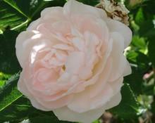 Rose 'Jeanne d'Arc-866