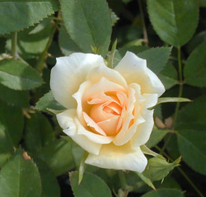 Rose 'Jefferson Rose'-0