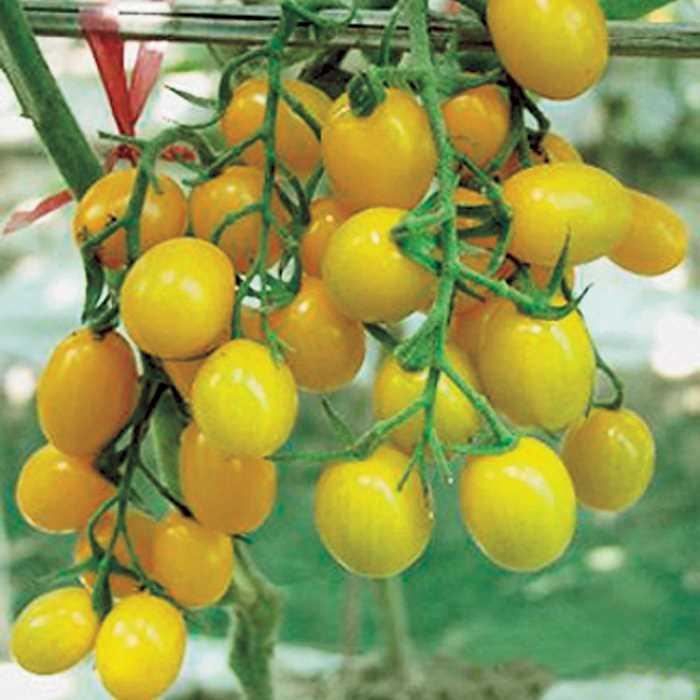 Tomato 'Jelly Bean Yellow'-0