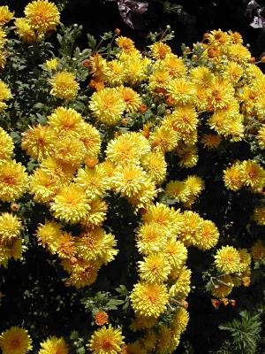 "Chrysanthemum ""Judy's Yellow""-0"