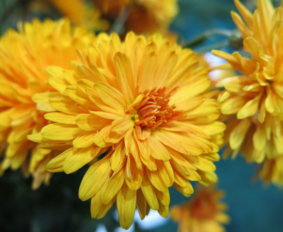 "Chrysanthemum ""Judy's Yellow""-1497"