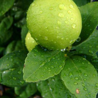 Key Lime 1 gal-0