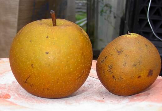 Asian Pear 'Korean Giant'-1338