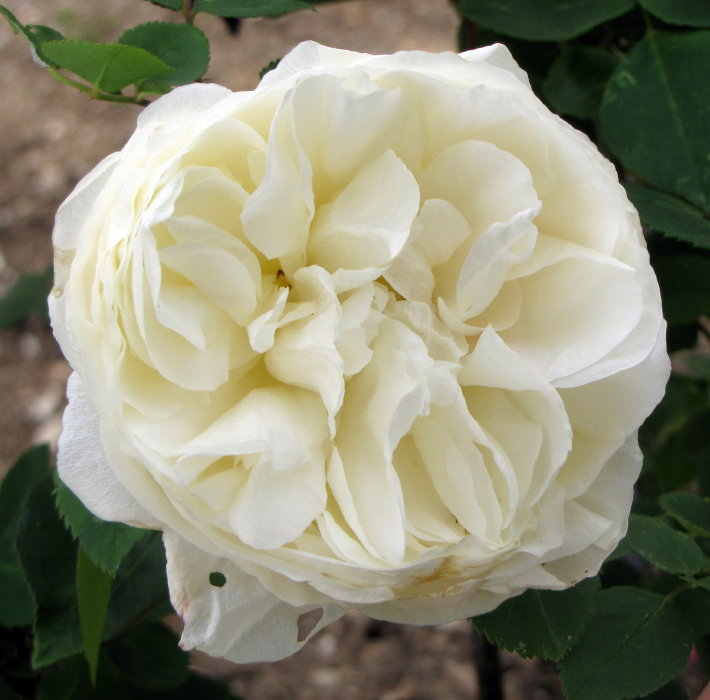 Rose 'Kronprinzessin Viktoria'-6