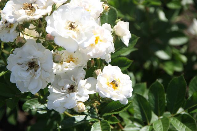 Rose 'Kronprinzessin Viktoria'-0