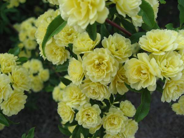 Rose 'Lady Banks Yellow'-983
