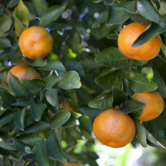 Satsuma 'LA Early'-0