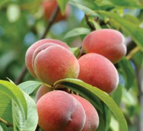 Peach 'La Felciana'-0