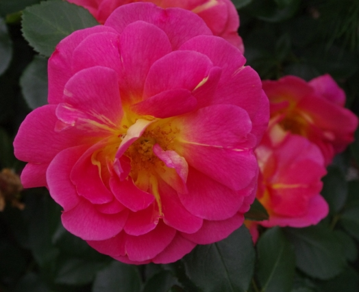 Rose 'Lafter'-992