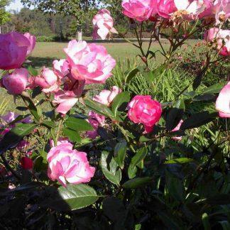 Rose 'La Marne'-0