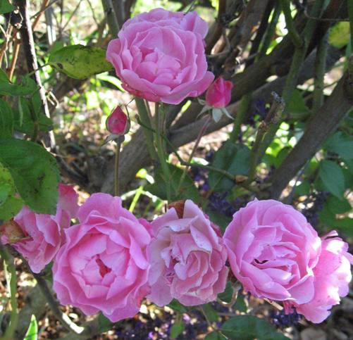 Rose 'La Marne'-894
