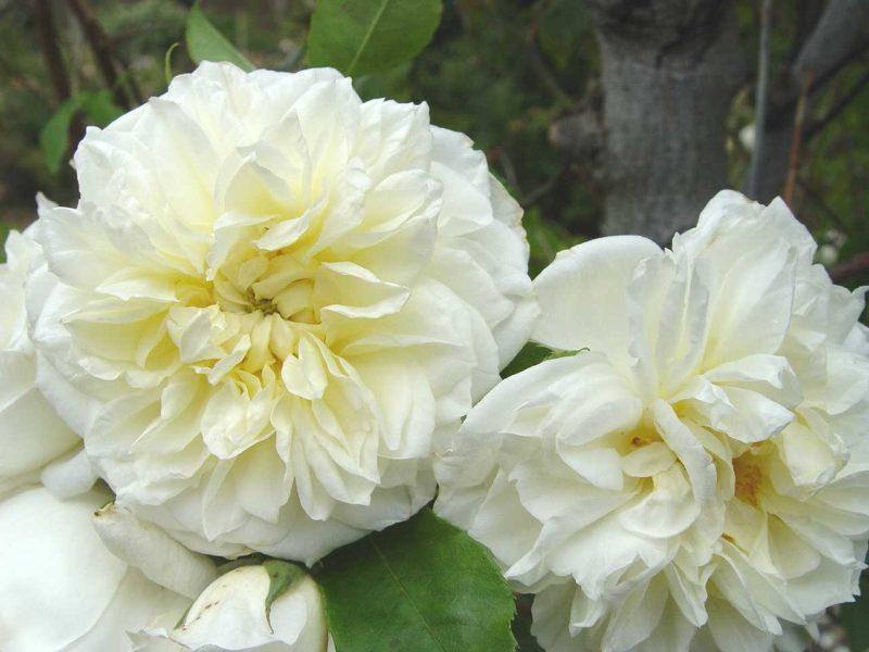 Rose 'Lamarque'-868