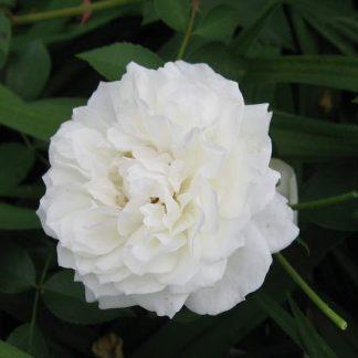 Rose 'Lamarque'-0