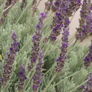 Lavender 'Goodwin Creek'-0