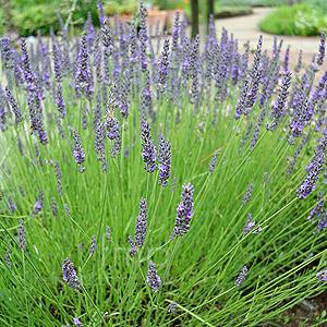 Lavender 'Grosso'-511