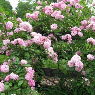 Rose 'Lavender Lassie'-0
