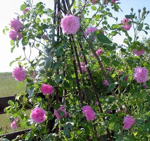 Rose 'Lavender Lassie'-823
