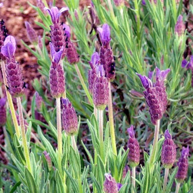 Lavender Spanish 'Otto Quast'-526