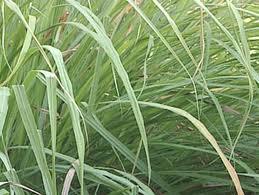 Lemon Grass-532
