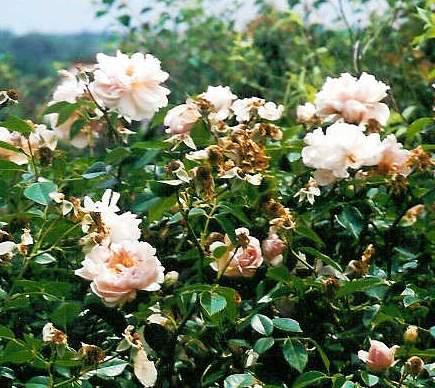 Rose 'Leontine Gervais'-947