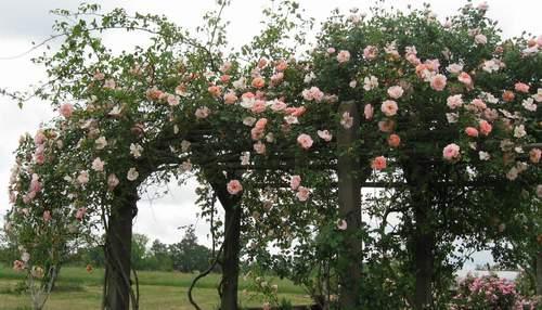Rose 'Leontine Gervais'-946