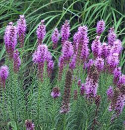 Liatris 'Floristan Violet'-369