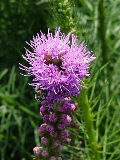 Liatris 'Floristan Violet'-368