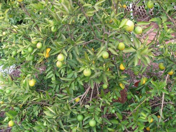 Eustis Limequat 1 gal.-1693