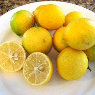 Eustis Limequat - 3gal.-0