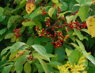 Spicebush-0