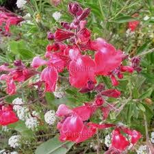Salvia greggii 'Lipstick'-0