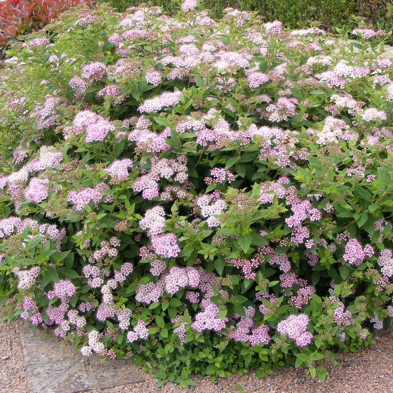 Spirea 'Little Princess'-0
