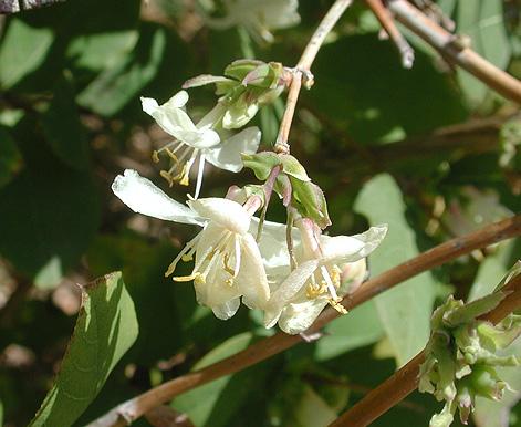 Winter Honeysuckle-1142