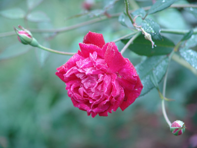 Rose 'Louis Philppe'-789