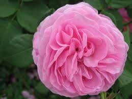 Rose ' Louise Odier'-763