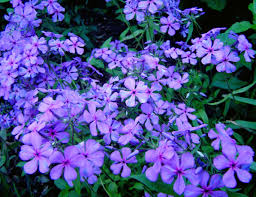 Louisiana Phlox-0