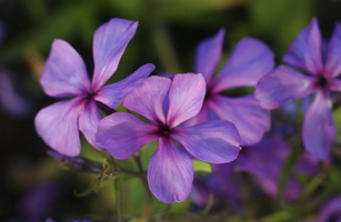 Louisiana Phlox-145