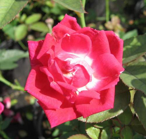 Rose 'Louis Philppe'-790