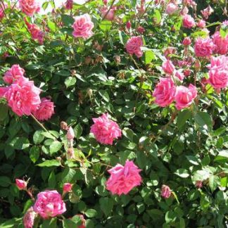 Rose 'Madame Lombard'-0